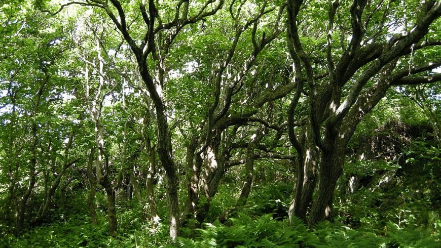 Alnus Glutinosa specie in the forest
