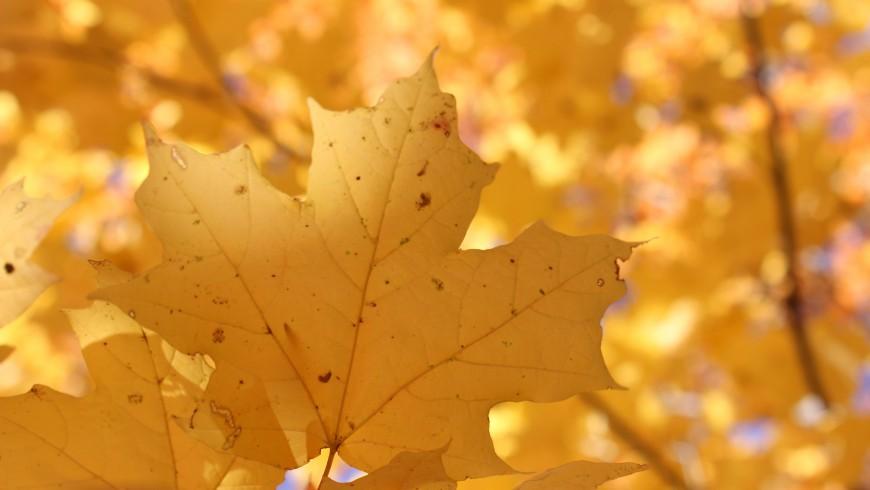 Acer platanoides leave in autumn