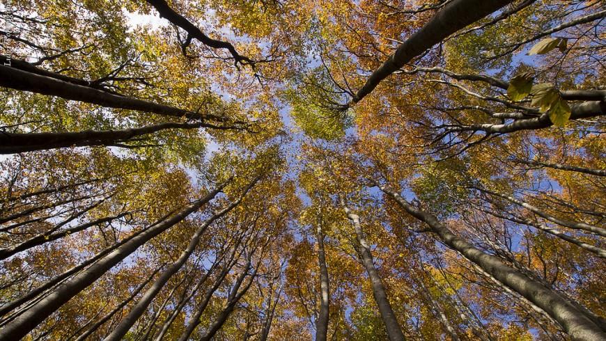 Beech, forest