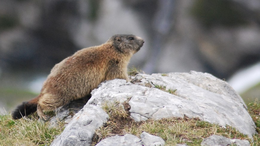 A brown marmot on a rock observing