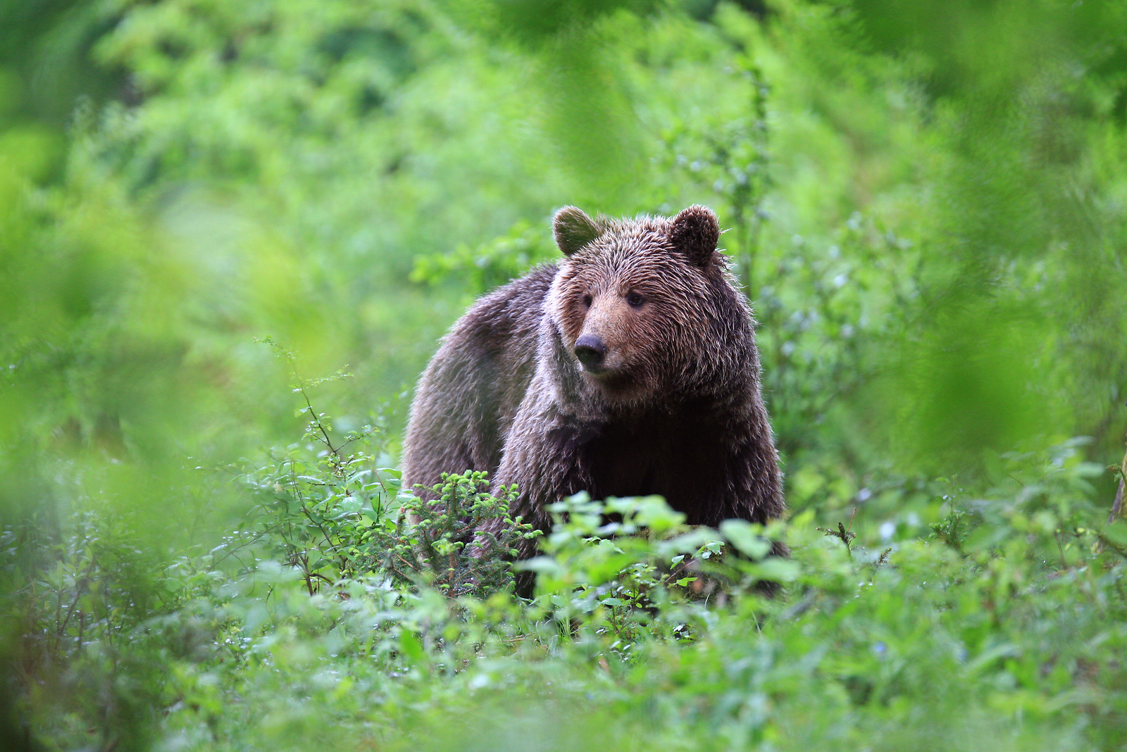 Bear-watching Slovenia