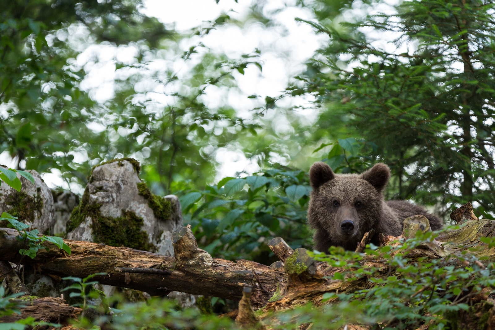 Bear-watching holidays in Slovenia