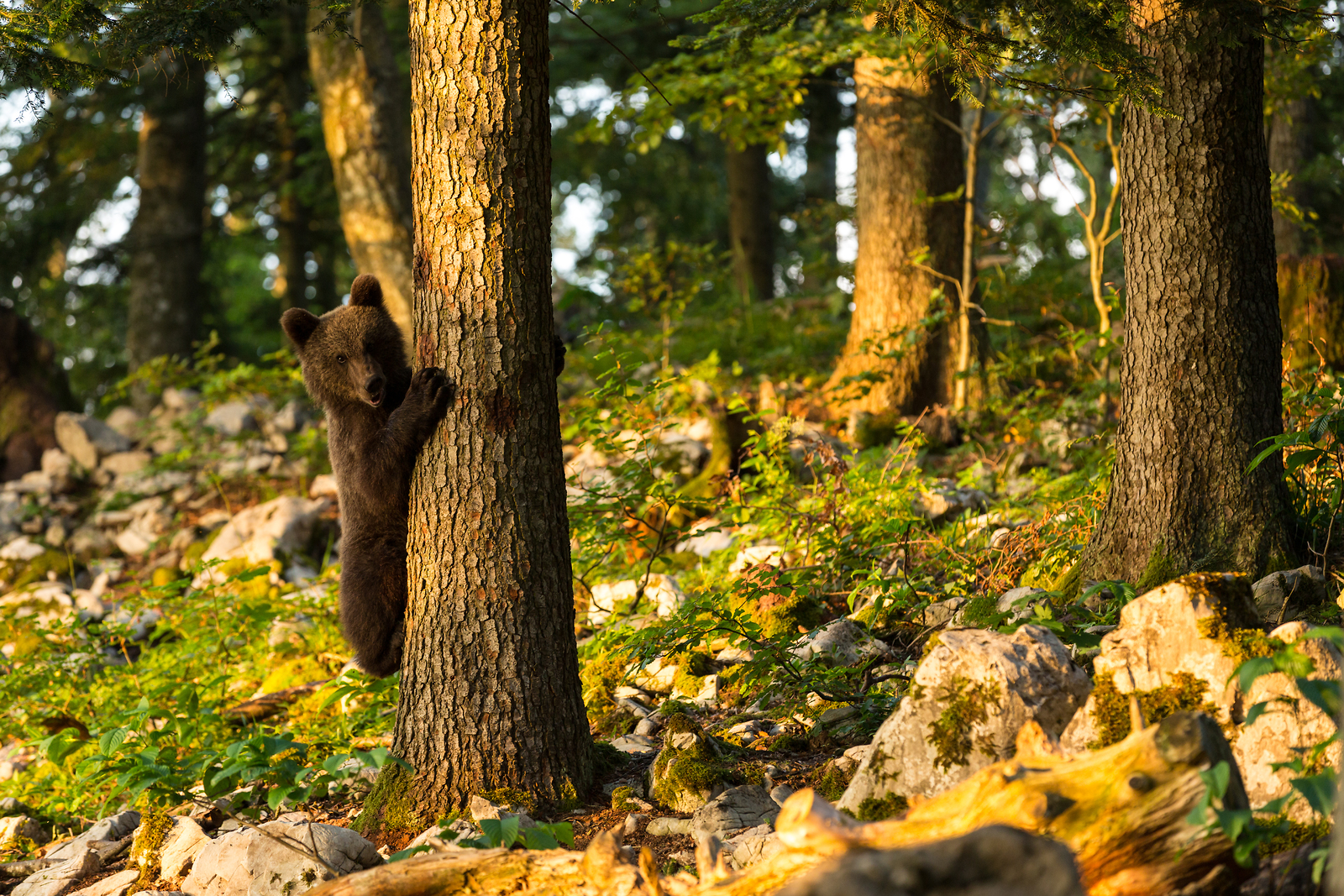 Bear-watching holidays in Slovenia