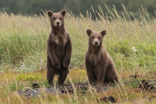 Bear-watching Slovenia