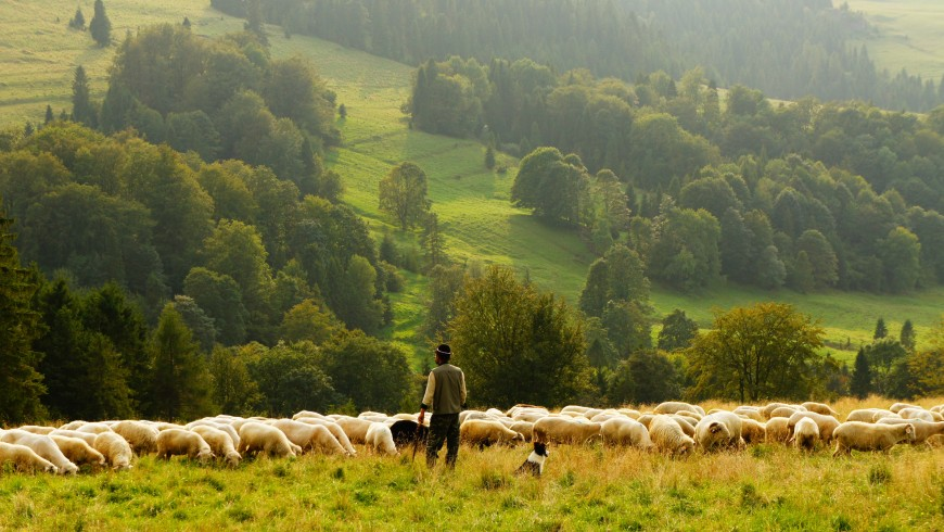 Become a shepherd in the bear area
