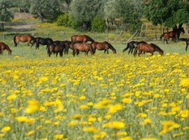 horses on a flower field