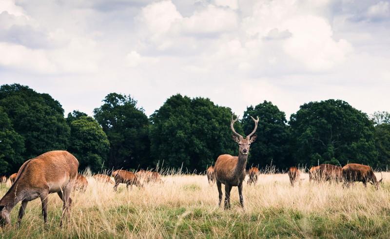 Deer in Richmond Park, in London, one of the best Vegan Cities in Europe
