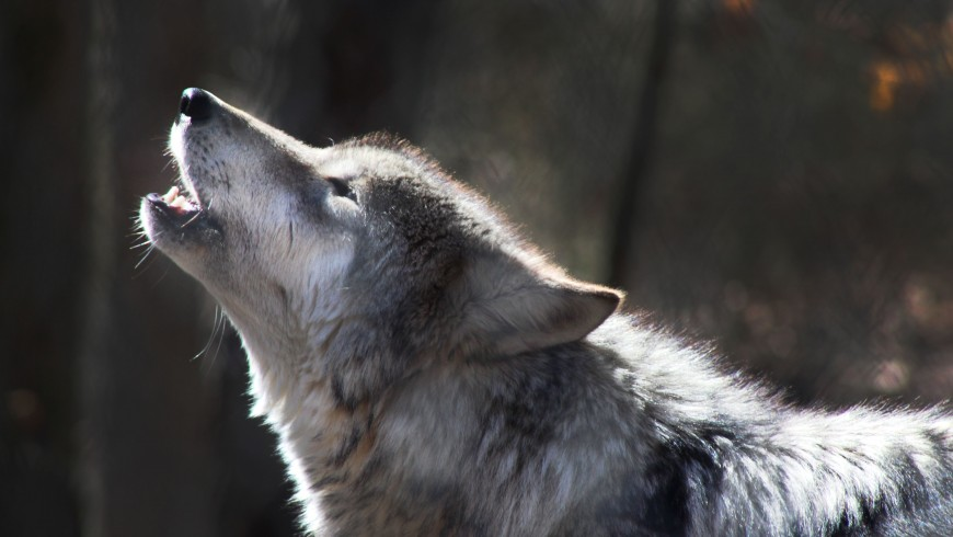 Howling with wolves