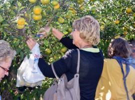 Mandarin harvest Neretva local experience in Dalmatia