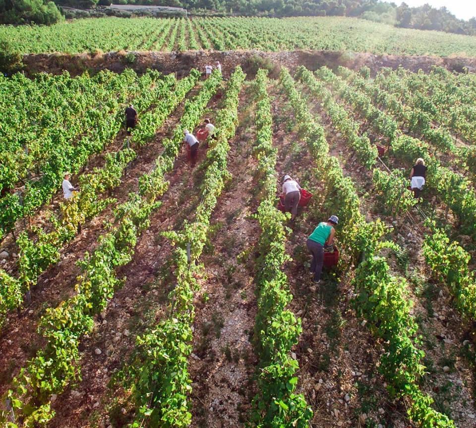 Rizman winery grape harvest - hidden gems Dalmatia