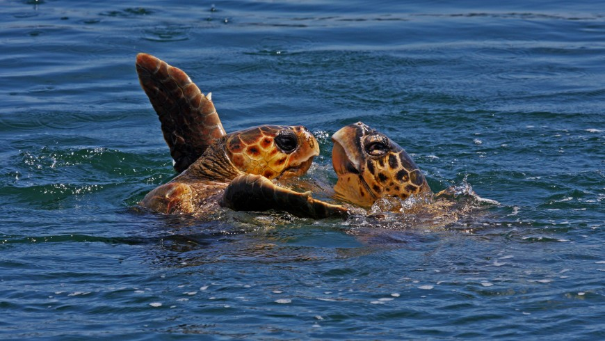 Two Caretta Caretta sea turtles playing at sea