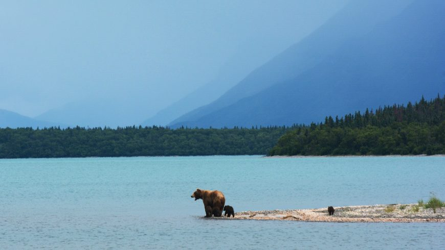 A mother bear teaches her cubs to swim on the edge of Naknek Lake, in Alaska