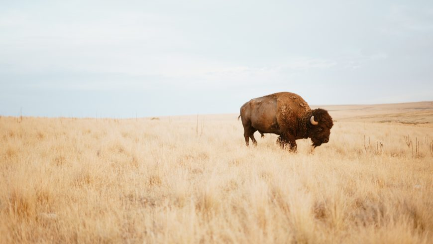 buffalo in its environment