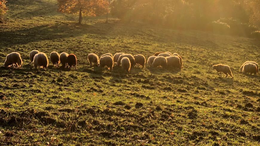 Grazing sheep, Podere Vallescura