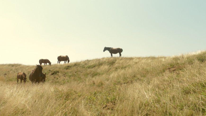 wild horses on Mount Acuto