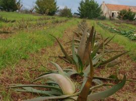 Over 400 plants of Aloe in Apulia