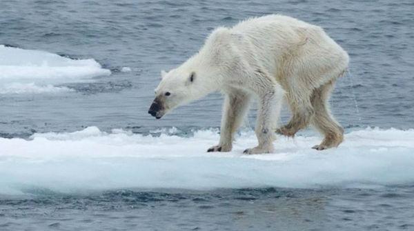 Undernourished polar bear, climate change