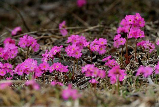 Primroses, Botanical Garden Pietra Corva