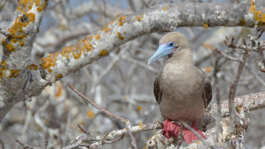 Red-footed boobyin Galapagos islands