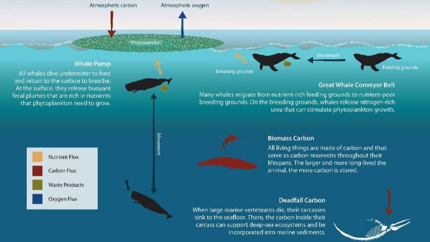 how whales save global warming