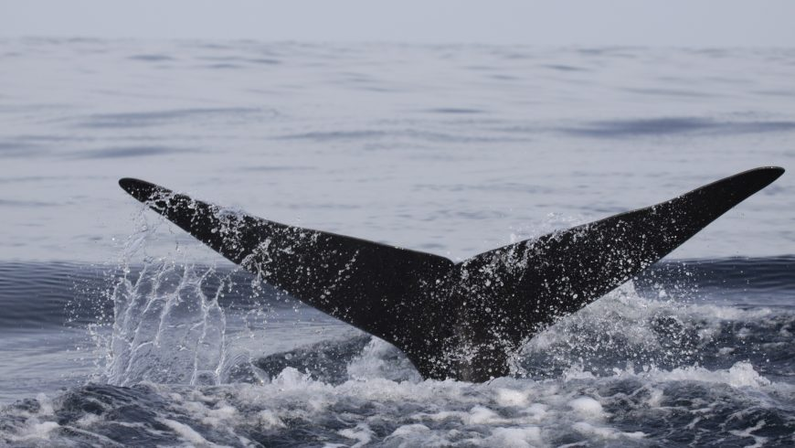 whale tail rising from water