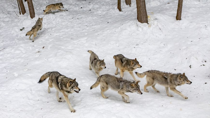 appenine wolf in the snow of national park