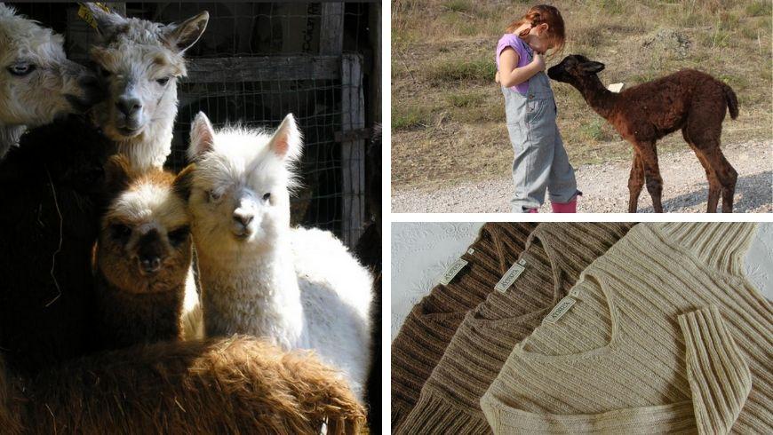 alpacas in farmhouse in italy