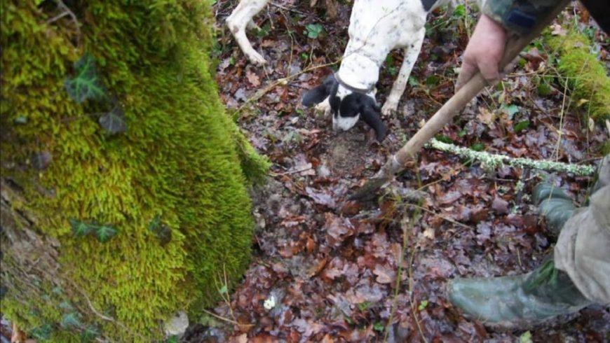 truffle hunt Motovun