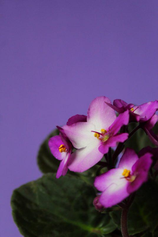 Saintpaulia flowers and house greenery