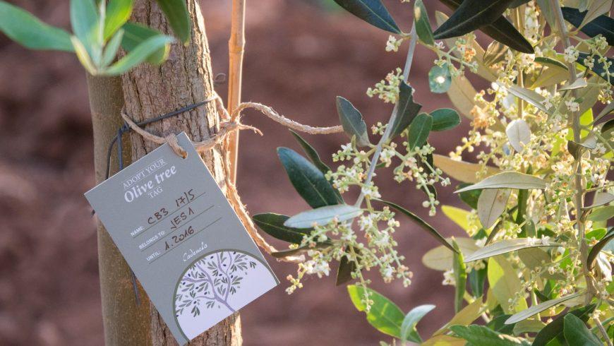 adopt olive tree Istria