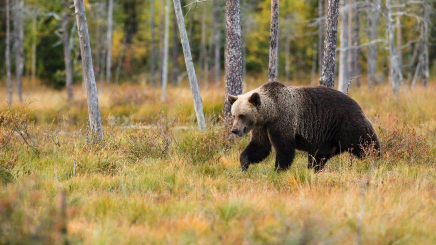 bear in Adamello brenta park