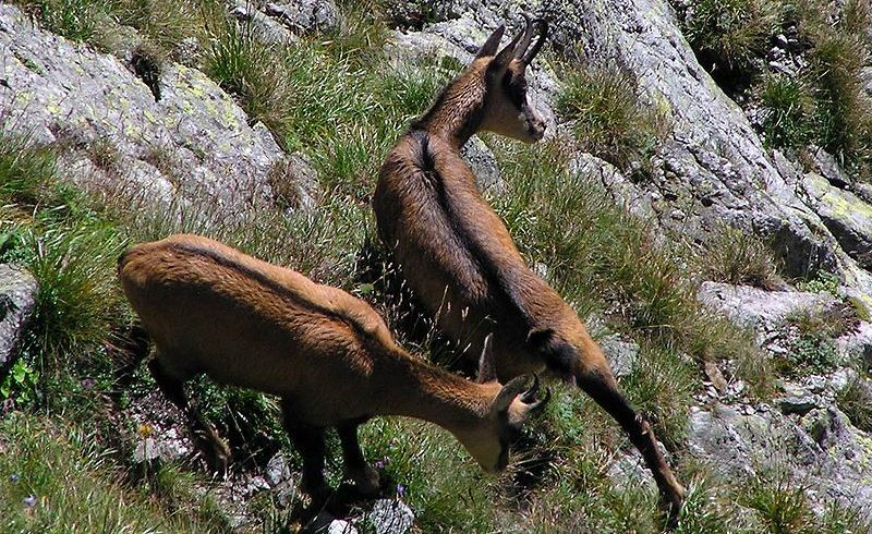 fauna of Stelvio national park