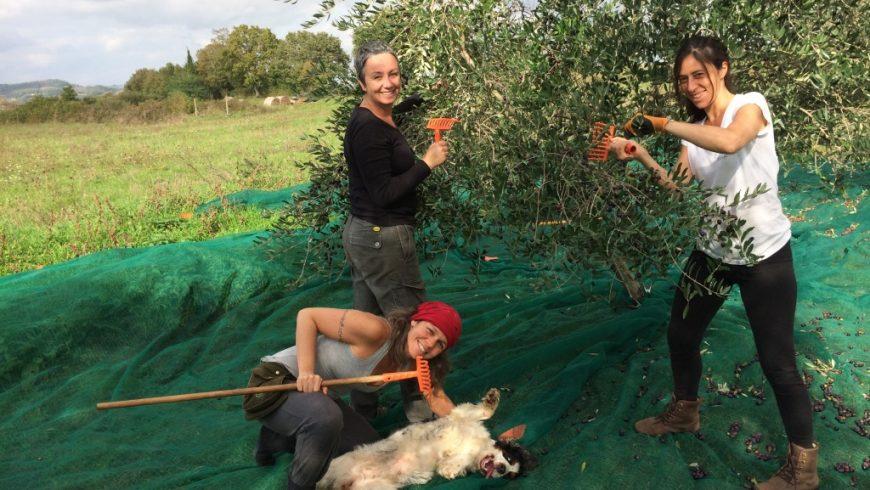Olive harvest and olive oil production course, Organic Farm Sant Egle