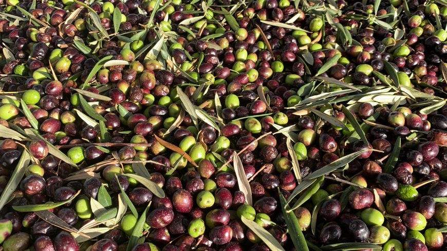 Olives waiting to be turned into olive oil at the Molisur factory
