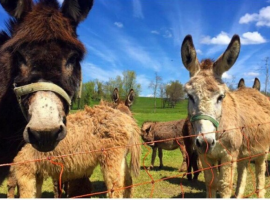 Visit Slovenia and discover the lovethat the Hudičevec Vacation Farm shows for animals