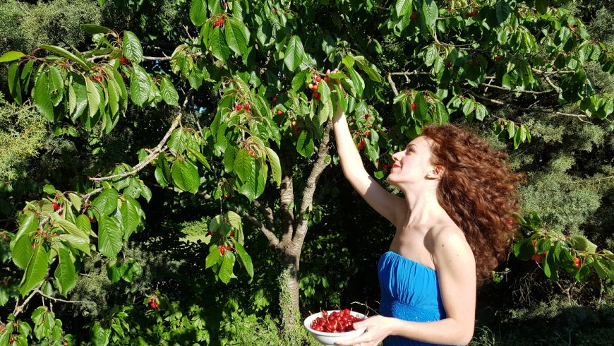 Guest who collects cherries from the tree at the Sant Egle farmhouse
