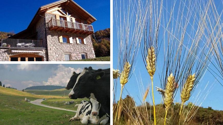 Wheat in Trentino