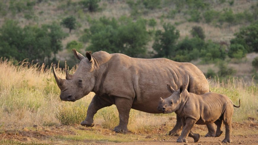 White rhino, one of the animal species extinct in the last hundred years