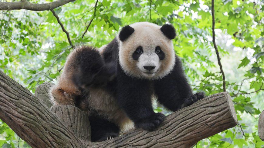 panda, animal in danger of extinction