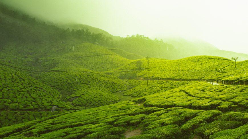 Tea Gardens, Munnar, Kerala, India