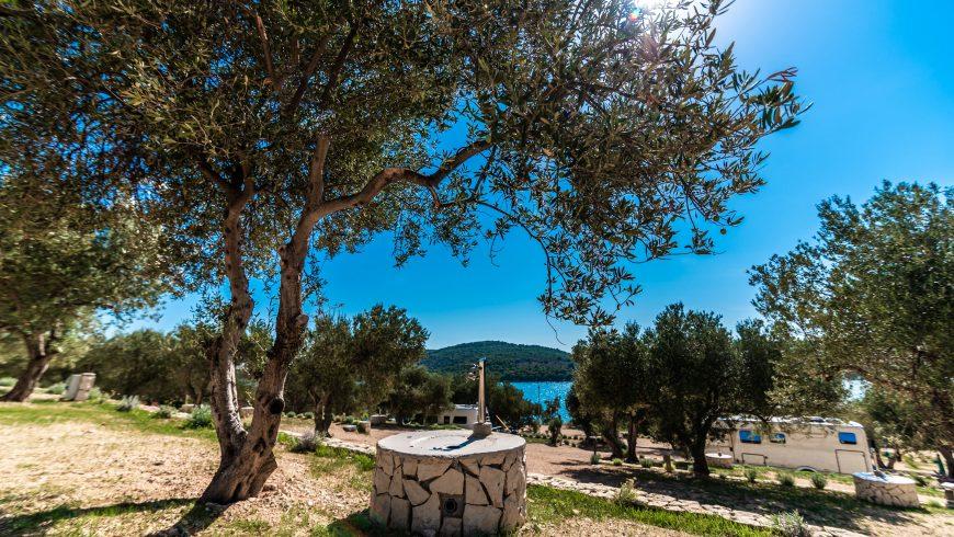 Olive grove in Dalmatia