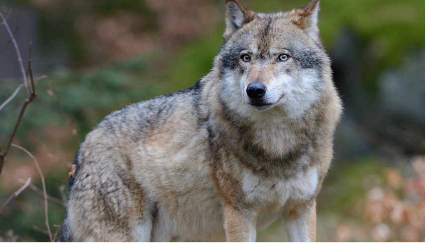 The wolf in Foreste Casentinesi, Monte Falterona, Campigna National Park