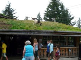 Goat on the green market roof
