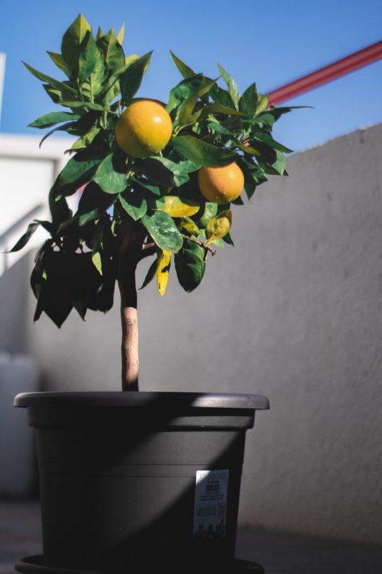 Citrus plant on the balcony