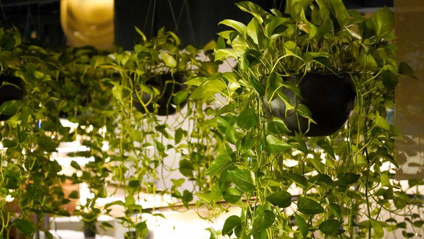 hanging plants, hanging gardens, plants, nature